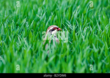 Red legged partridge (Alectoris rufa) in field - Stock Photo