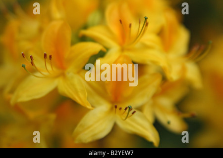 Yellow azalea flowers blooming Rhododendron luteum - Stock Photo