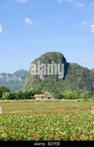 Young tobacco plant crop and steep limestone mogotes in the distance in the Viñales valley Cuba - Stock Photo