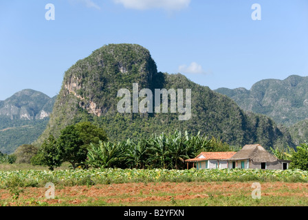 Tobacco plantation and steep limestone mogote in the Viñales valley Cuba - Stock Photo