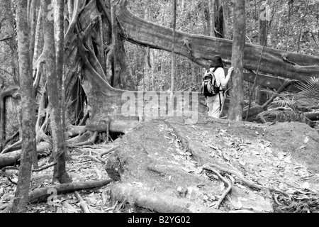 Natural Flying Buttress, Daintree National Park, Queensland, Australia - Stock Photo
