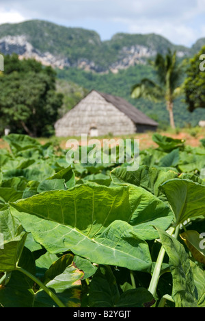 Tobacco plantation with hut for hanging and drying leaves in tobacco producing region of Viñales Cuba - Stock Photo
