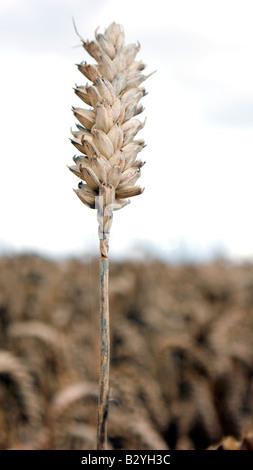 Ear of wheat or corn in a filed ready for harvest for either food or bio fuel - Stock Photo