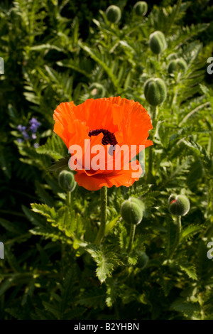 Orange Oriental Poppies Papaver orientale close up poppy surrounded by closed flower buds - Stock Photo