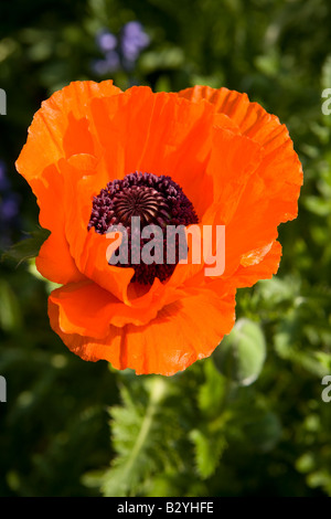 Orange Oriental Poppies Papaver orientale close up poppy - Stock Photo