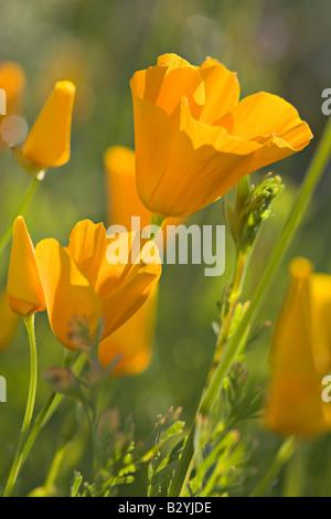 Mexican Gold Poppies, Eschscholtzia mexicana, near Lake Pleasant, Arizona - Stock Photo