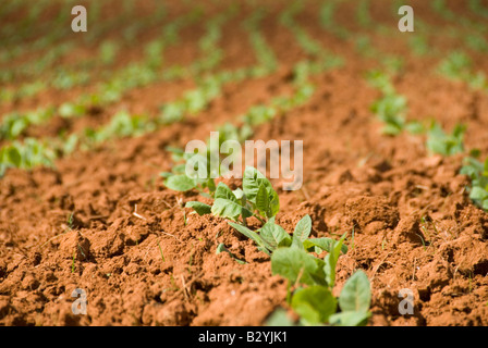 Young seedling tobacco plants growing in Vinales Cuba - Stock Photo