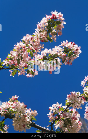 Ornamental spring blossoms in bloom against blue sky - Stock Photo