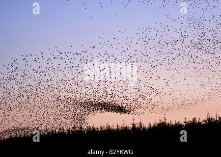 Large flock of starlings coming into roost at dusk in cornwall in winter on a disused airfield - Stock Photo