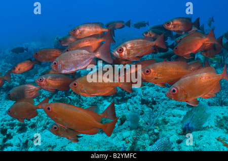School of Big Eyes or Glass Eye Snapper Heteropriacanthus cruentatus in Palm Beach FL - Stock Photo