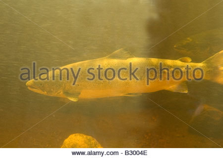 Atlantic Salmon Salmo salar Torrent River Newfoundland - Stock Photo