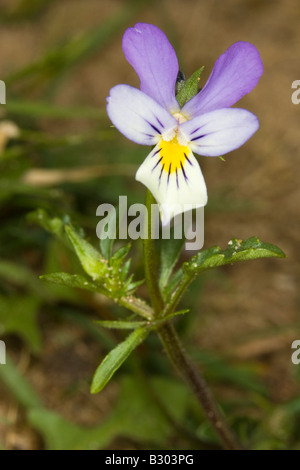 Wild Pansy (Viola tricolor) on sand dune - Stock Photo