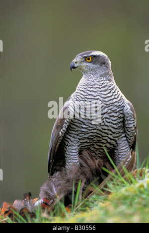 Goshawk (Accipiter gentilis), female with prey - Stock Photo