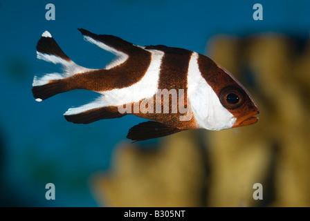 Young Red Emperor Snapper, Lutjanus sebae, Indo-pacific Ocean - Stock Photo