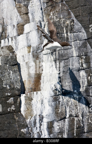 Guillemot (Uria aalge) flying from cliff nesting site on Isle of May off the coast of Fife Scotland - Stock Photo