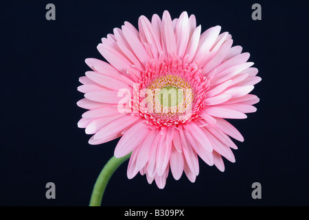 Pink Gerbera against a black background - Stock Photo