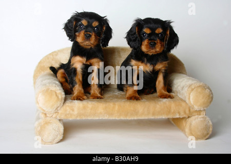 Cavalier King Charles Spaniel puppies black and tan 8 weeks sofa couch - Stock Photo