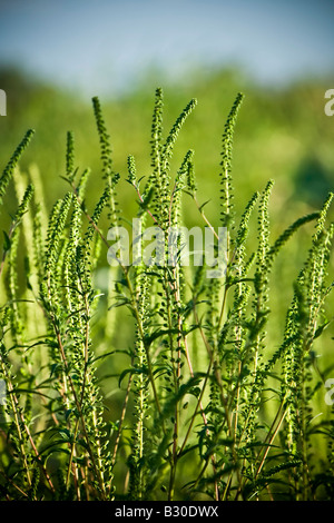 Common Ragweed Ambrosia artemisiifolia - Stock Photo