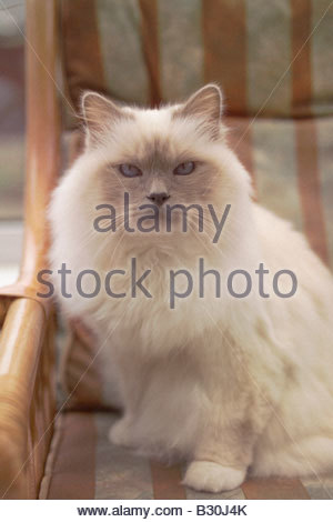 louis sat in his chair! - Stock Photo