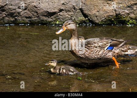 Mallard female duck and duckling - Stock Photo