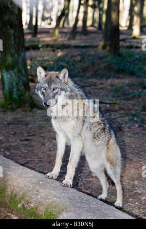 Wolf Canis lupus Germany Bavaria - Stock Photo