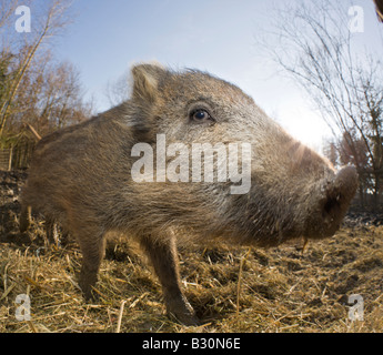 Wild boar Sus scrofa Germany Bavaria - Stock Photo