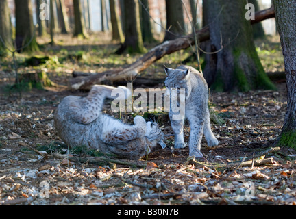 Lynx Felis lynx Germany Bavaria - Stock Photo