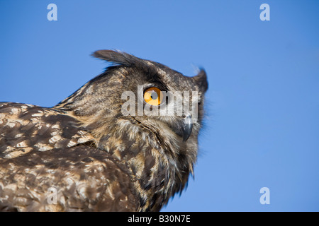 Eurasian Eagle Owl Bubo bubo Germany Bavaria - Stock Photo