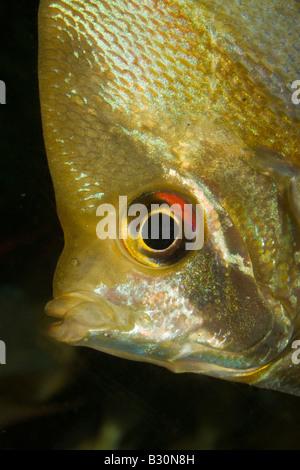 Freshwater angelfish Pterophyllum scalare - Stock Photo