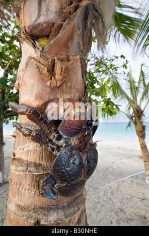Coconut Crab Robber Crab on Palmtree Birgus latro Marshall Islands Bikini Atoll Micronesia Pacific Ocean - Stock Photo