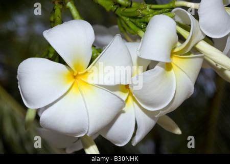 Plumeria Flowers Plumeria alba Marshall Islands Bikini Atoll Micronesia Pacific Ocean - Stock Photo