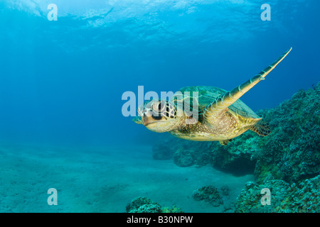Green Turtle Chelonia mydas Marshall Islands Bikini Atoll Micronesia Pacific Ocean - Stock Photo