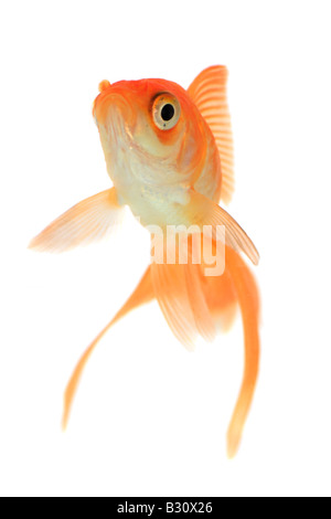 Carassius auratus, goldfish, common carp, fantail, comet, swallowtail - Stock Photo
