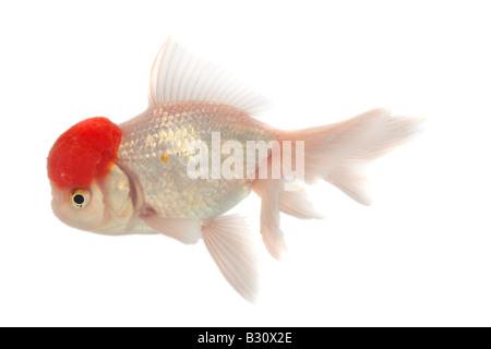 Shishigashira, Veiltail, Carassius auratus auratus, goldfish, common carp, Shishigashira, Fantail, white oranda - Stock Photo