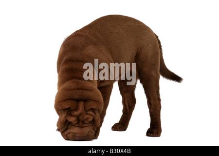 Shar Pei, Sharpei, Canis lupus f. familiaris, Shar Pei, Chinese Shar-Pei - Stock Photo