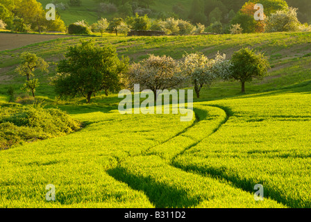 winding path through a wheatfield leading to a hill with apple trees in blossom - Stock Photo