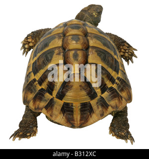 Testudo hermanni boettgeri, Hermanns tortoise, Greek tortoise, Boettgers tortoise - Stock Photo