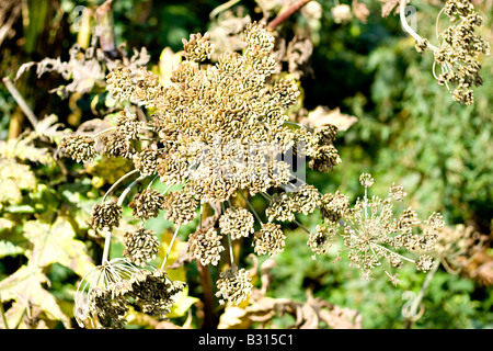 A Giant hogweed plant head, full of seeds ready to drop them - Stock Photo