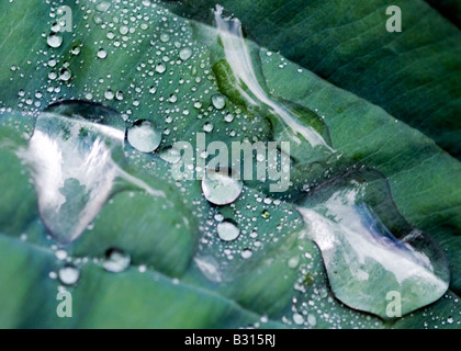 Raindrops and reflections on a Hosta leaf - Stock Photo