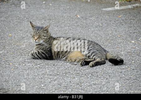 Tabby domestic cat resting - Stock Photo