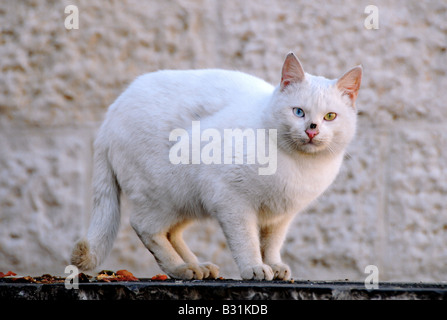 A stray white cat, with different colored eyes, sits suspiciously on a wall in central Jerusalem, Israel. - Stock Photo