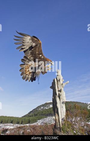 Golden Eagle (Aquila chrysaetos), adult alighting on dead pine stump on moorland