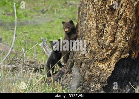 Cinnamon and black bear babies - Stock Photo