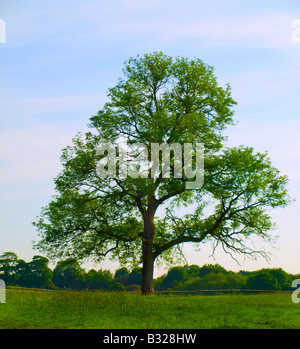 Old Oak Tree in Beautiful Green Field in British Summer Morning - Stock Photo