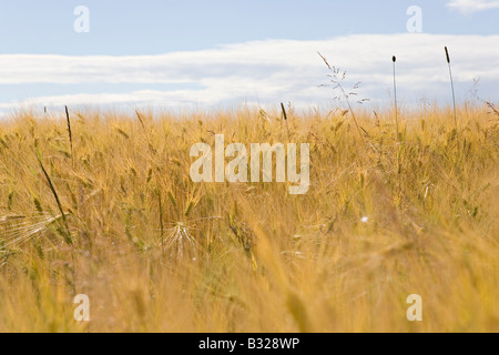 Barley Hordeum vulgare cereal grain field near Turaida in Gauja National Park - Stock Photo
