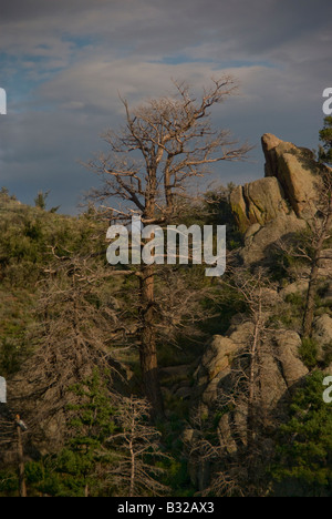 A dead pine standing on the ridges of the Sandia mountains - Stock Photo