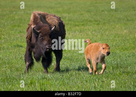 A BISON COW with her frolicking CALF YELLOWSTONE NATIONAL PARK WYOMING - Stock Photo