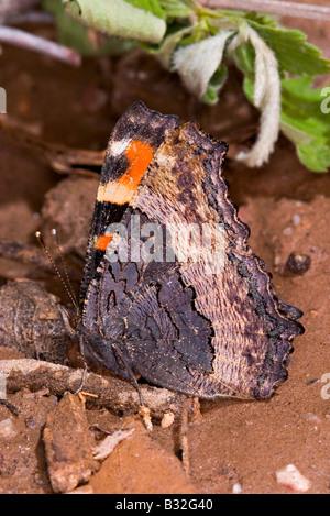 Milbert's Tortoiseshell Nymphalis milberti - Stock Photo
