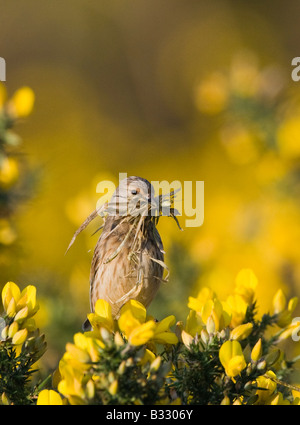 Linnet Carduelis cannabina with nest material Norfolk April - Stock Photo
