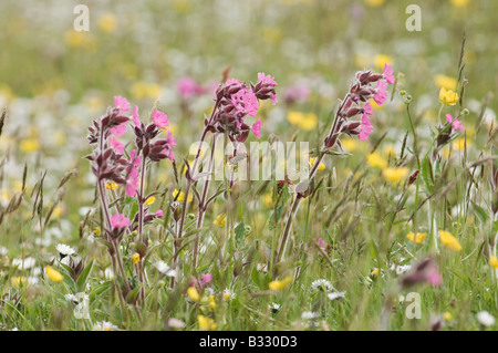 Wildflower meadow including Red Campion Shetland summer - Stock Photo